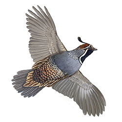 California Quail Flight Illustration
