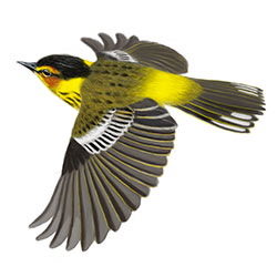 Cape May Warbler Flight Illustration