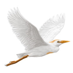 Cattle Egret Flight Illustration