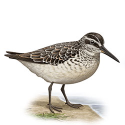 Broad-billed Sandpiper Body Illustration