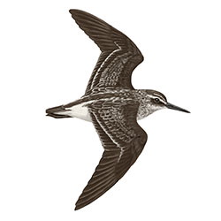 Broad-billed Sandpiper Flight Illustration