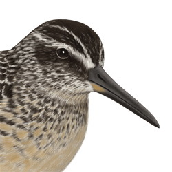 Broad-billed Sandpiper Head Illustration