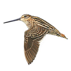 Common Snipe Flight Illustration