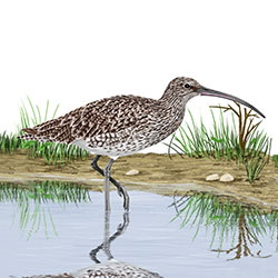 Eurasian Curlew Body Illustration