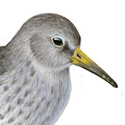 Purple Sandpiper Head Illustration
