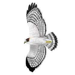 Short-tailed Hawk Flight Illustration