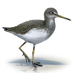 Green Sandpiper Body Illustration