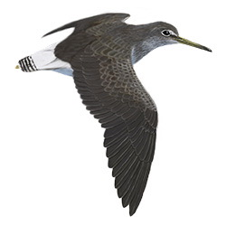 Green Sandpiper Flight Illustration
