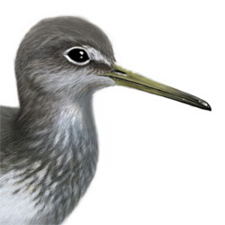 Green Sandpiper Head Illustration