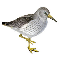 Purple Sandpiper Body Illustration