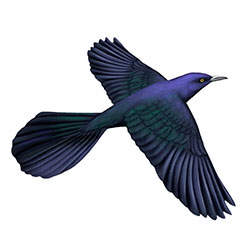 Boat-tailed Grackle Breeding Male Flight Illustration