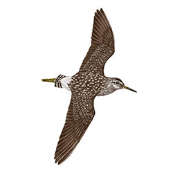 Wood Sandpiper Flight Illustration