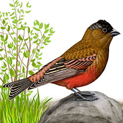 Brown-capped Rosy-Finch Body Illustration