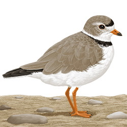 Piping Plover Body Illustration