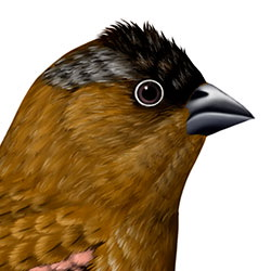 Brown-capped Rosy-Finch Head Illustration