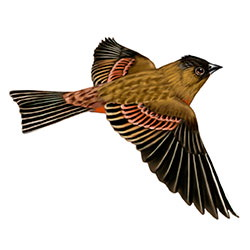 Brown-capped Rosy-Finch Flight Illustration