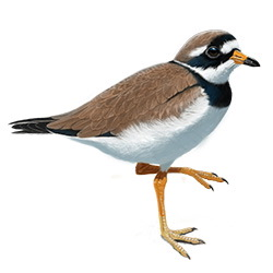Common Ringed Plover Body Illustration