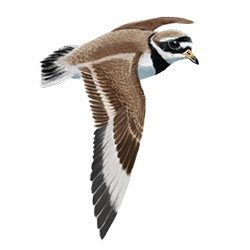 Common Ringed Plover Flight Illustration
