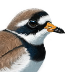 Common Ringed Plover Head Illustration