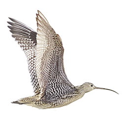 Far Eastern Curlew Flight Illustration