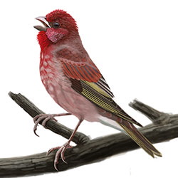 Common Rosefinch Body Illustration.jpg