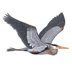 Great Blue Heron Flight Illustration