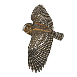 Flammulated Owl Flight Illustration