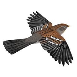 Field Sparrow Flight Illustration