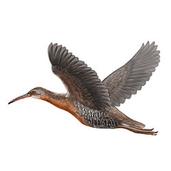Clapper Rail Flight Illustration.jpg
