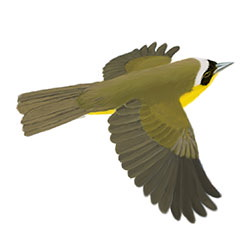 Common Yellowthroat Flight Illustration