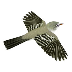 Gray Flycatcher Flight Illustration