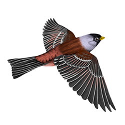 Gray-crowned Rosy-Finch Flight Illustration