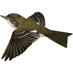 Olive-sided Flycatcher Flight Illustration