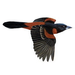 Orchard Oriole Flight Illustration