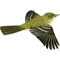 Pacific-slope Flycatcher Flight Illustration
