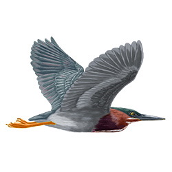 Green Heron Flight Illustration