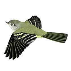 Hammond's Flycatcher Flight Illustration