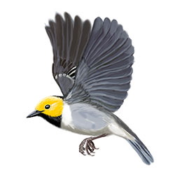 Hermit Warbler Flight Illustration.jpg