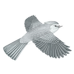 Juniper Titmouse Flight Illustration