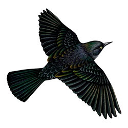 Rusty Blackbird Flight Illustration
