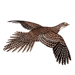 Greater Sage-Grouse Flight Illustration