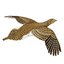 Sharp-tailed Grouse Flight Illustration