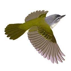 Tennessee Warbler Flight Illustration