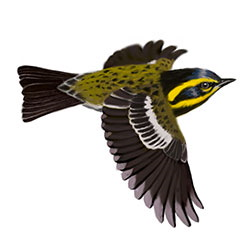 Townsend's Warbler Flight Illustration.jpg