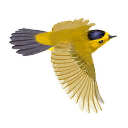 Wilson's Warbler Flight Illustration.jpg