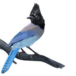 Steller's Jay Body Illustration