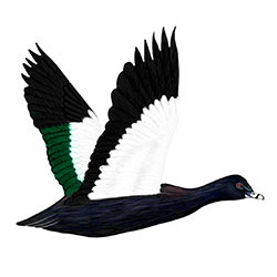 Muscovy Duck Flight Illustration