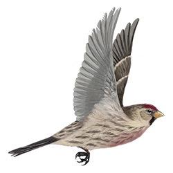 Common Redpoll Flight Illustration