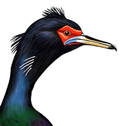 Red-faced Cormorant Head Illustration