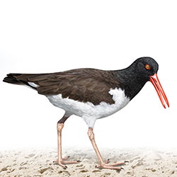 American Oystercatcher Body Illustration
